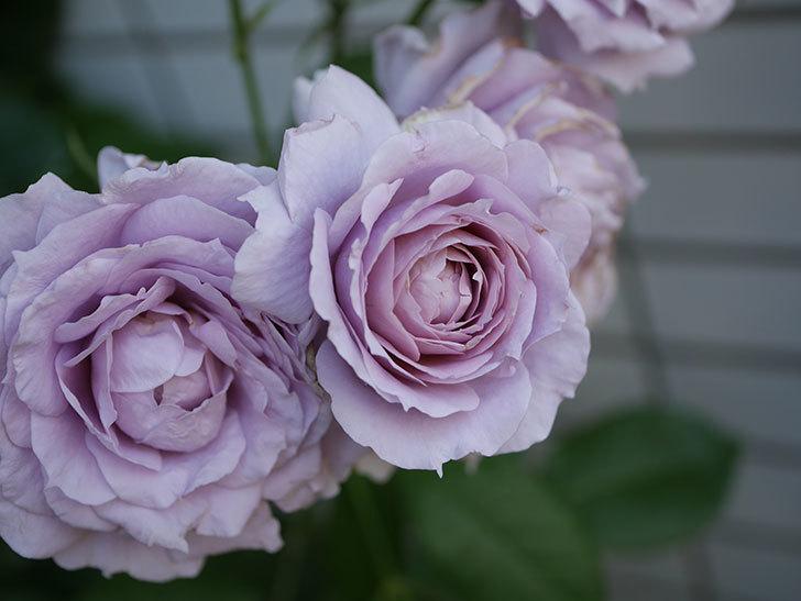 ノヴァーリス(木立バラ)の花が良い感じになった。2019年-11.jpg