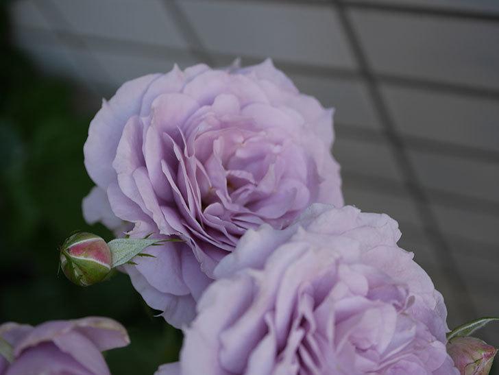 ノヴァーリス(木立バラ)の花が良い感じになった。2019年-12.jpg