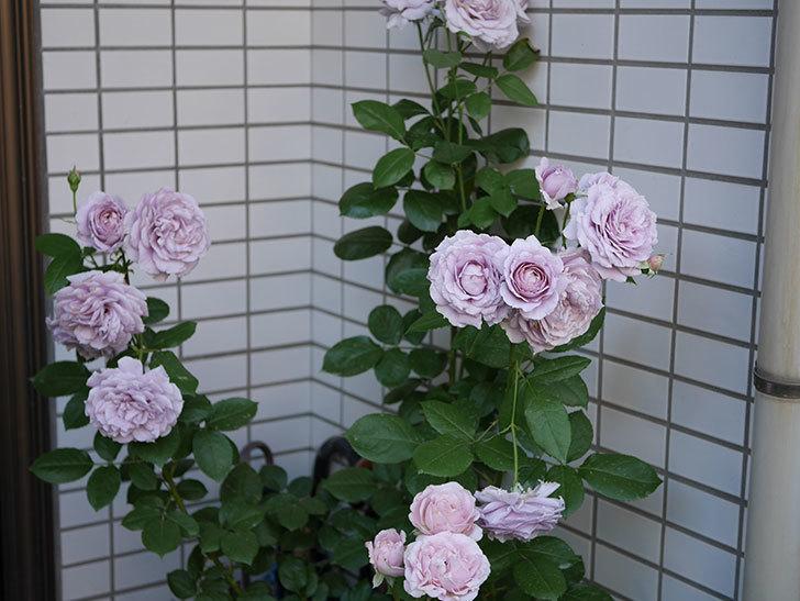 ノヴァーリス(木立バラ)の花が良い感じになった。2019年-13.jpg