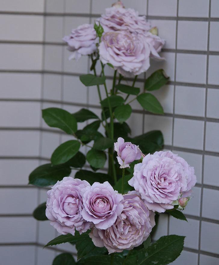 ノヴァーリス(木立バラ)の花が良い感じになった。2019年-15.jpg
