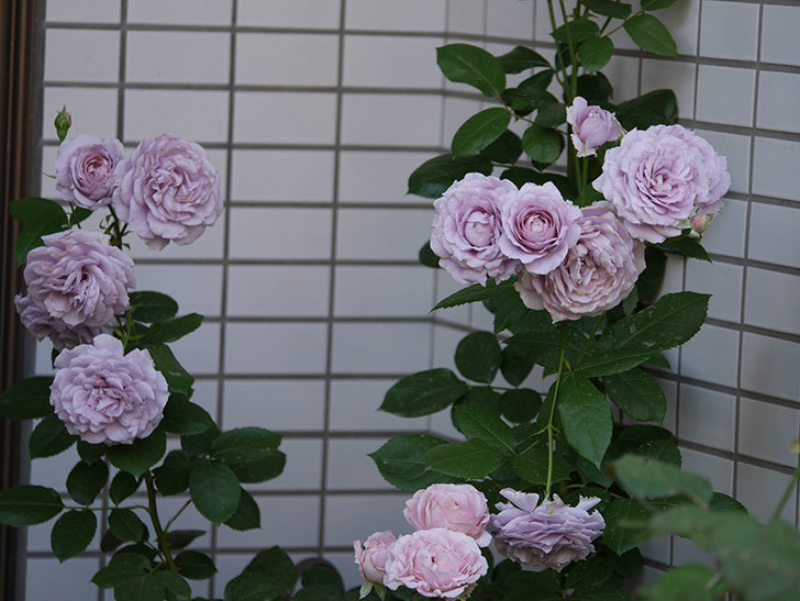 ノヴァーリス(木立バラ)の花が良い感じになった。2019年-16.jpg