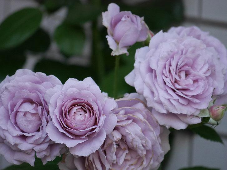ノヴァーリス(木立バラ)の花が良い感じになった。2019年-17.jpg