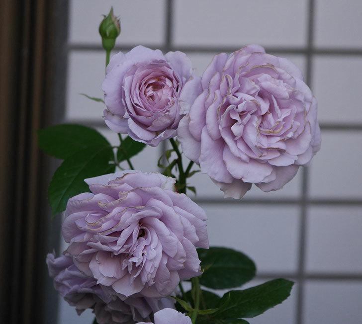 ノヴァーリス(木立バラ)の花が良い感じになった。2019年-19.jpg