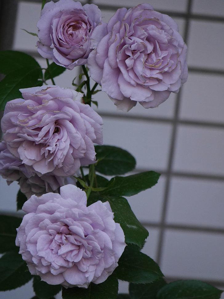 ノヴァーリス(木立バラ)の花が良い感じになった。2019年-20.jpg