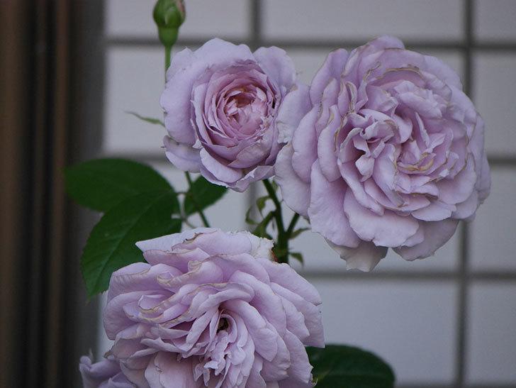 ノヴァーリス(木立バラ)の花が良い感じになった。2019年-21.jpg