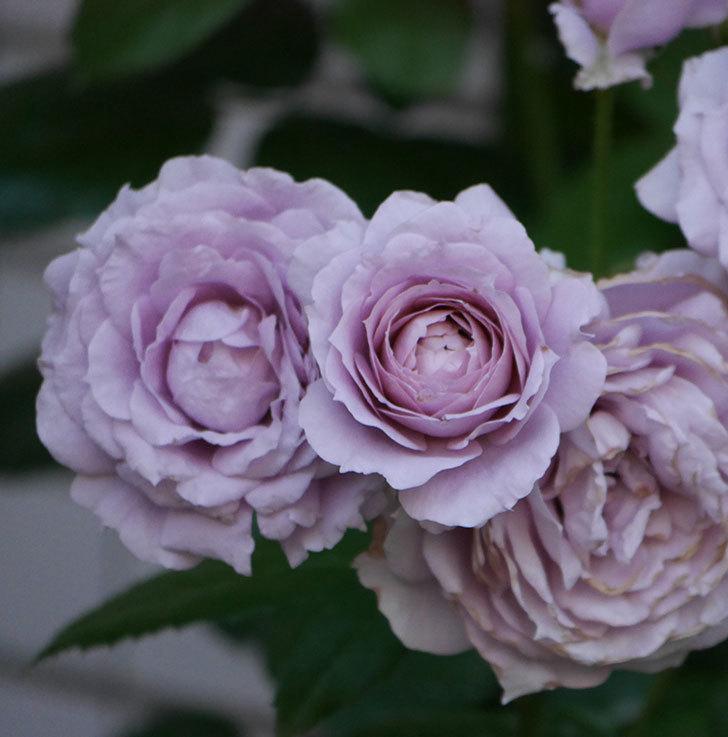 ノヴァーリス(木立バラ)の花が良い感じになった。2019年-22.jpg