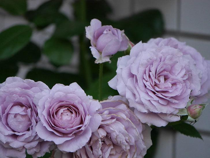 ノヴァーリス(木立バラ)の花が良い感じになった。2019年-23.jpg