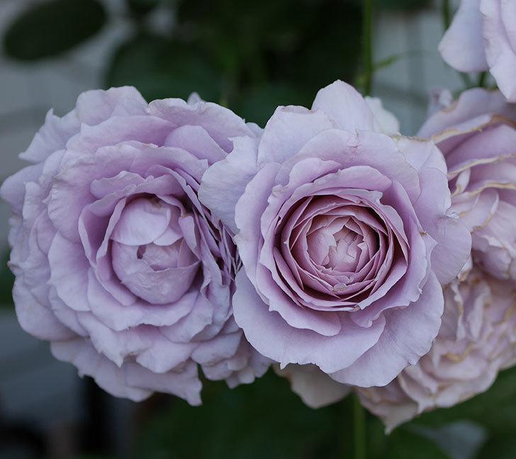 ノヴァーリス(木立バラ)の花が良い感じになった。2019年-4.jpg