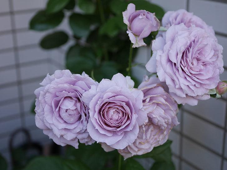ノヴァーリス(木立バラ)の花が良い感じになった。2019年-5.jpg