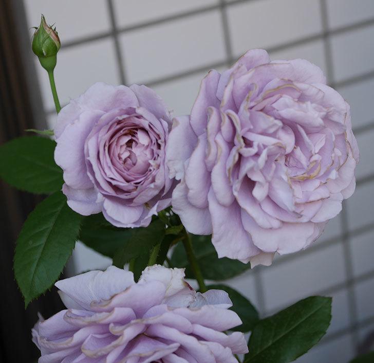 ノヴァーリス(木立バラ)の花が良い感じになった。2019年-7.jpg