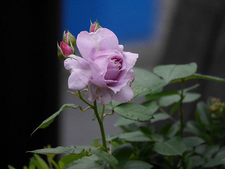 ノヴァーリス(Novalis)に2個目の花が咲いた。木立バラ。2020年-001.jpg