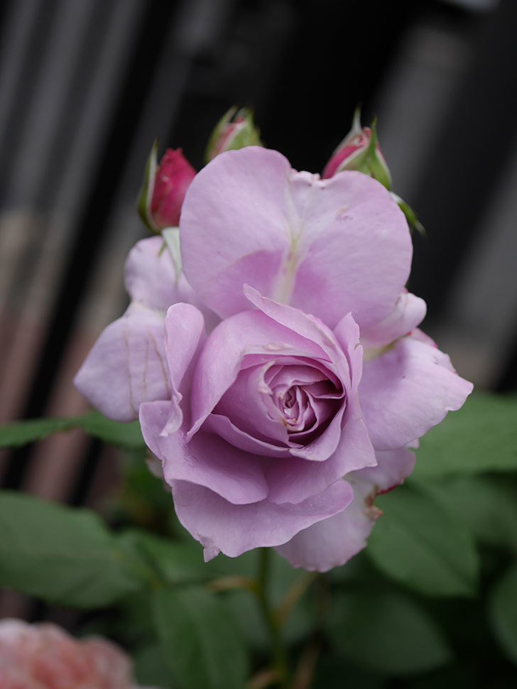 ノヴァーリス(Novalis)に2個目の花が咲いた。木立バラ。2020年-003.jpg