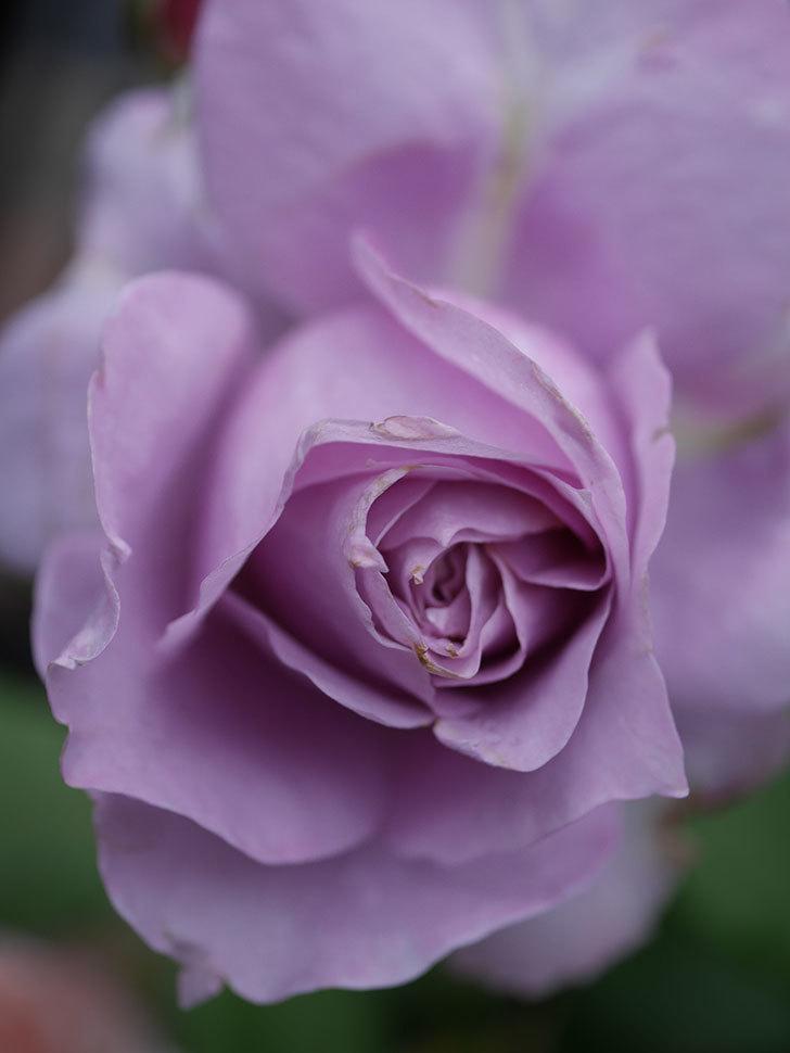 ノヴァーリス(Novalis)に2個目の花が咲いた。木立バラ。2020年-004.jpg