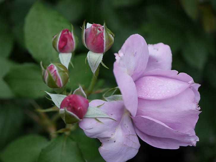 ノヴァーリス(Novalis)に2個目の花が咲いた。木立バラ。2020年-005.jpg