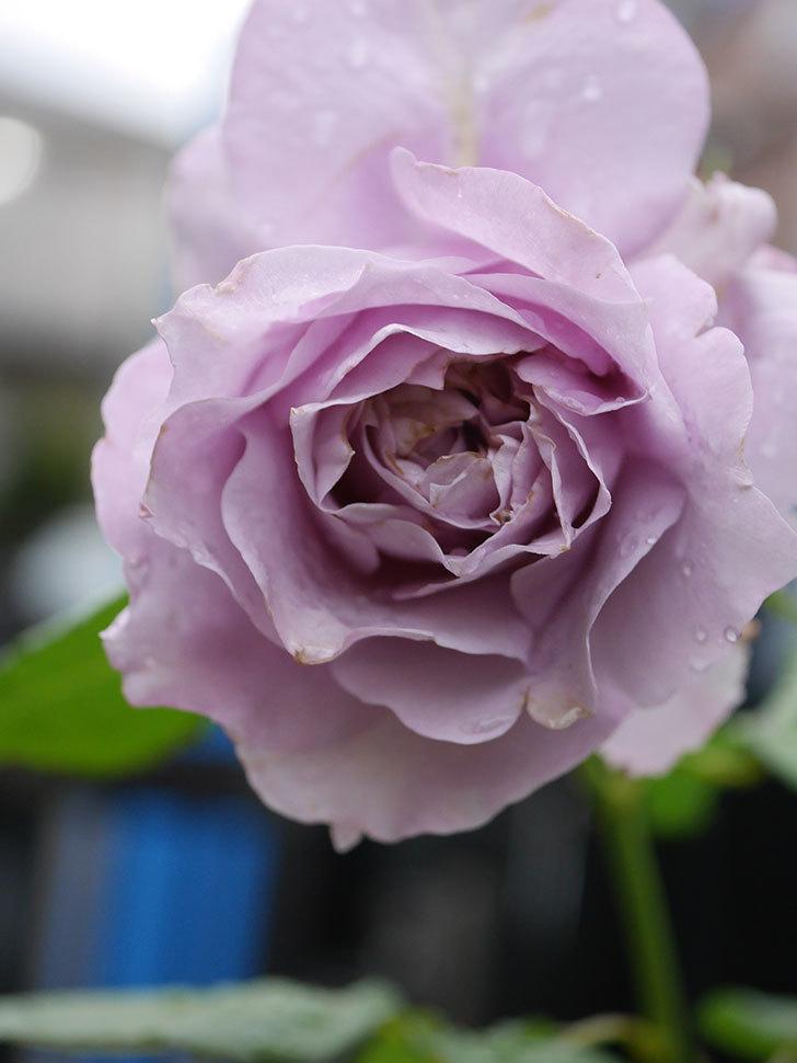 ノヴァーリス(Novalis)に2個目の花が咲いた。木立バラ。2020年-006.jpg