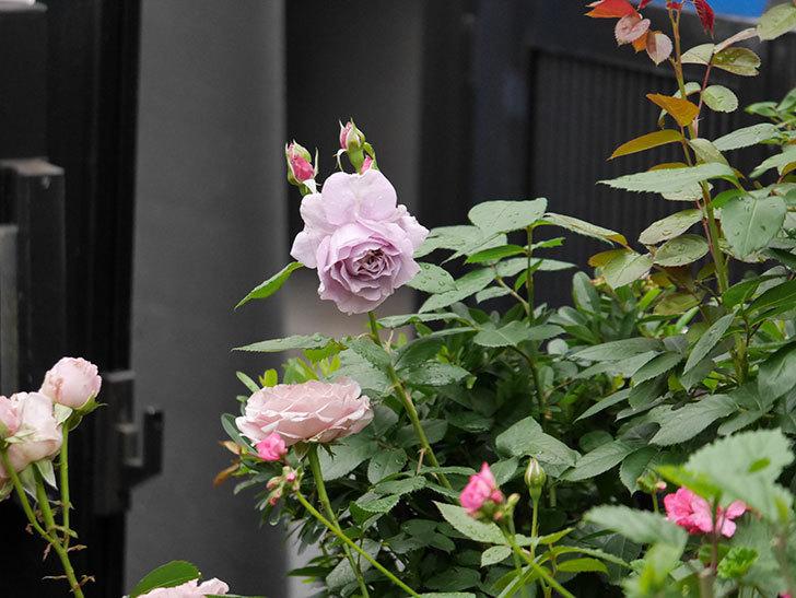 ノヴァーリス(Novalis)に2個目の花が咲いた。木立バラ。2020年-007.jpg