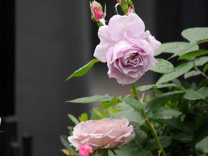 ノヴァーリス(Novalis)に2個目の花が咲いた。木立バラ。2020年-008.jpg