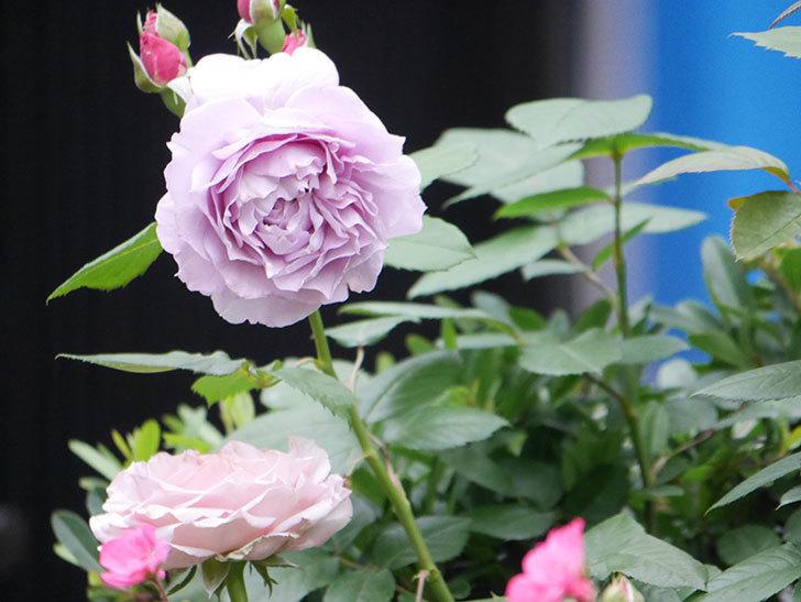 ノヴァーリス(Novalis)に2個目の花が咲いた。木立バラ。2020年-009.jpg