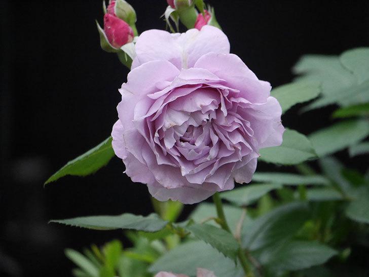 ノヴァーリス(Novalis)に2個目の花が咲いた。木立バラ。2020年-010.jpg