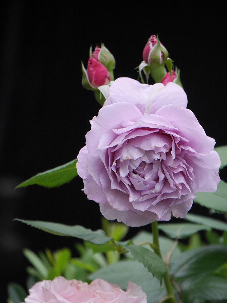ノヴァーリス(Novalis)に2個目の花が咲いた。木立バラ。2020年-011.jpg