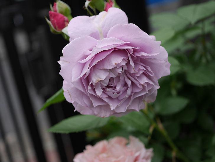 ノヴァーリス(Novalis)に2個目の花が咲いた。木立バラ。2020年-012.jpg