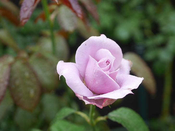 ノヴァーリス(Novalis)の2番花がまた咲いた。木立バラ。2020年-001.jpg