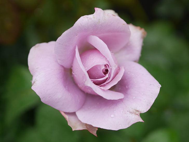 ノヴァーリス(Novalis)の2番花がまた咲いた。木立バラ。2020年-003.jpg