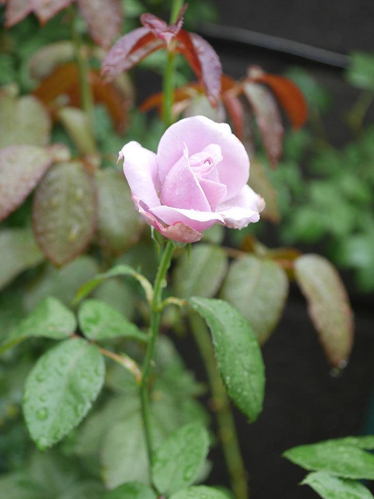 ノヴァーリス(Novalis)の2番花がまた咲いた。木立バラ。2020年-005.jpg