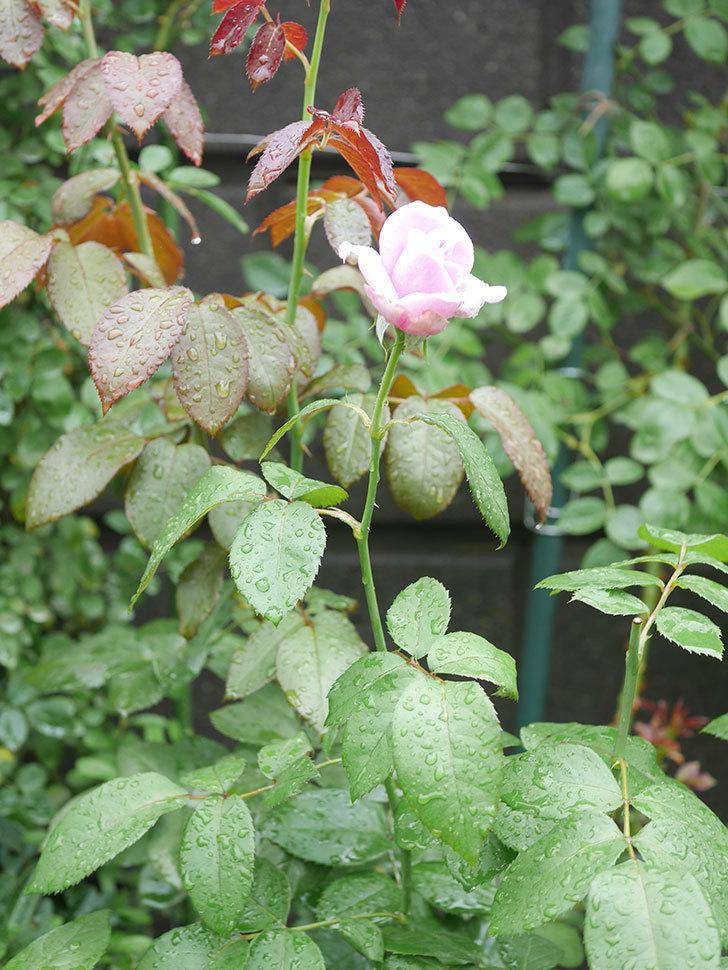 ノヴァーリス(Novalis)の2番花がまた咲いた。木立バラ。2020年-006.jpg