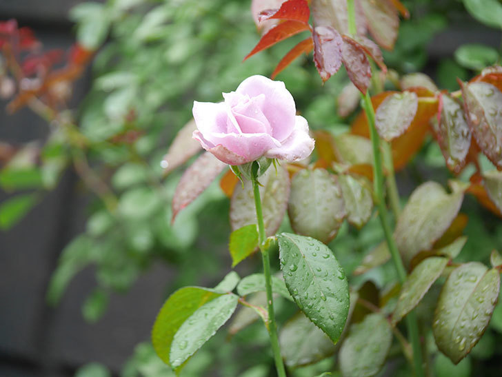 ノヴァーリス(Novalis)の2番花がまた咲いた。木立バラ。2020年-007.jpg