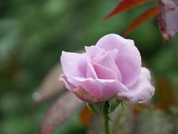 ノヴァーリス(Novalis)の2番花がまた咲いた。木立バラ。2020年-008.jpg