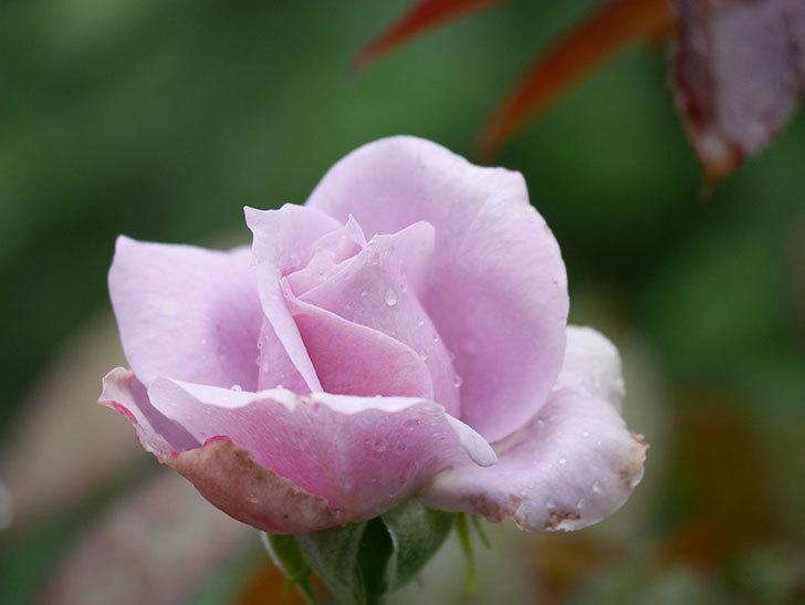 ノヴァーリス(Novalis)の2番花がまた咲いた。木立バラ。2020年-009.jpg