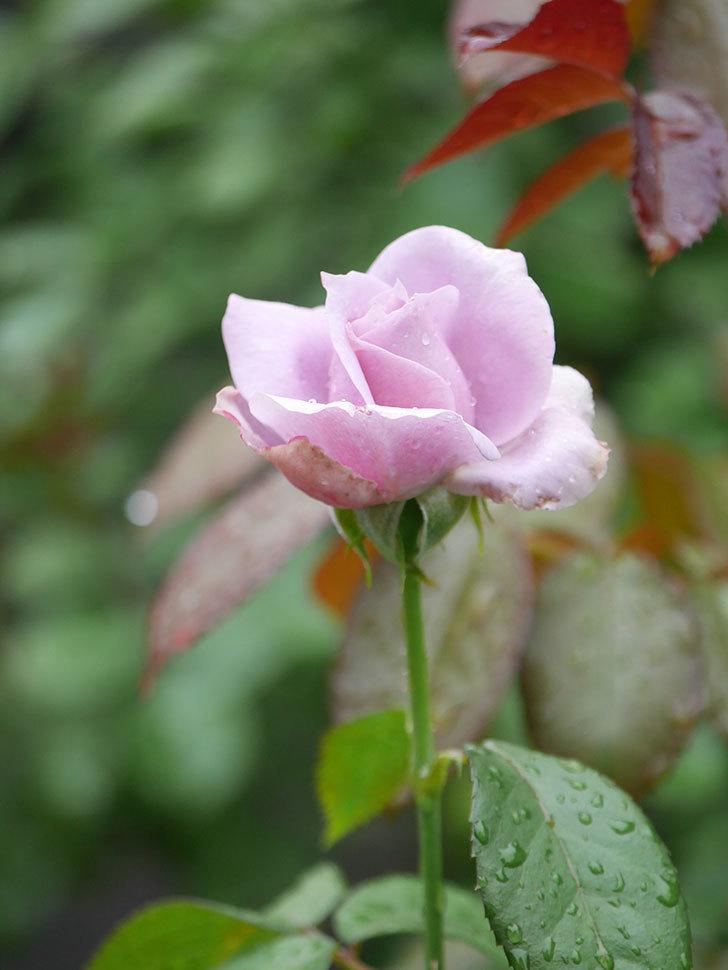 ノヴァーリス(Novalis)の2番花がまた咲いた。木立バラ。2020年-010.jpg