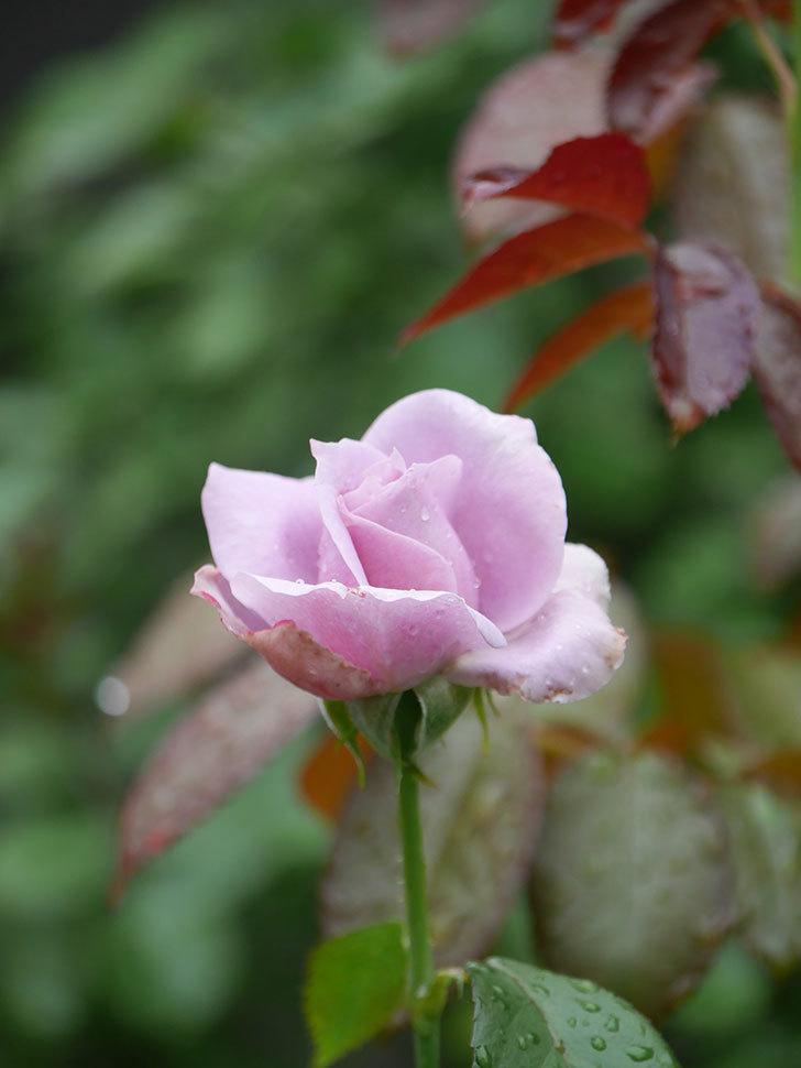 ノヴァーリス(Novalis)の2番花がまた咲いた。木立バラ。2020年-011.jpg