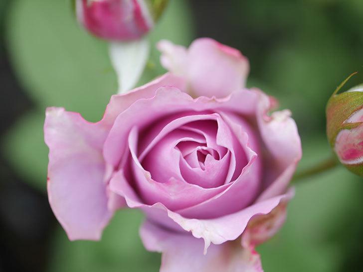 ノヴァーリス(Novalis)の2番花が咲いた。木立バラ。2020年-002.jpg