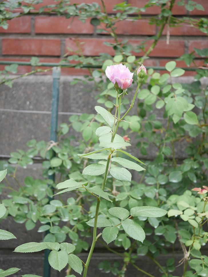 ノヴァーリス(Novalis)の2番花が咲いた。木立バラ。2020年-003.jpg