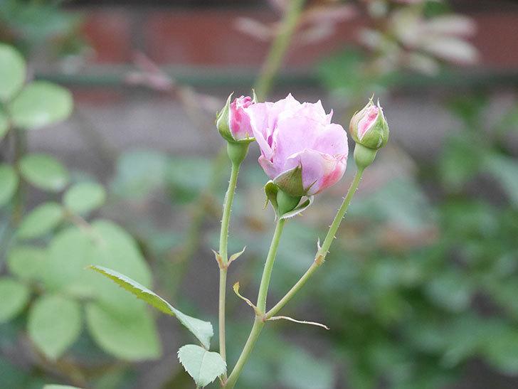 ノヴァーリス(Novalis)の2番花が咲いた。木立バラ。2020年-004.jpg