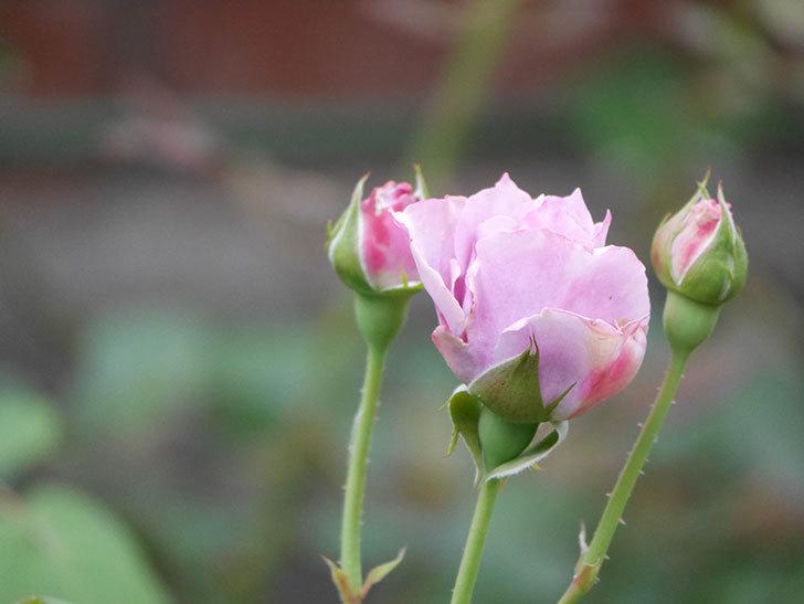 ノヴァーリス(Novalis)の2番花が咲いた。木立バラ。2020年-005.jpg