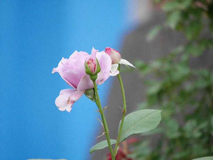 ノヴァーリス(Novalis)の2番花が咲いた。木立バラ。2020年-006.jpg