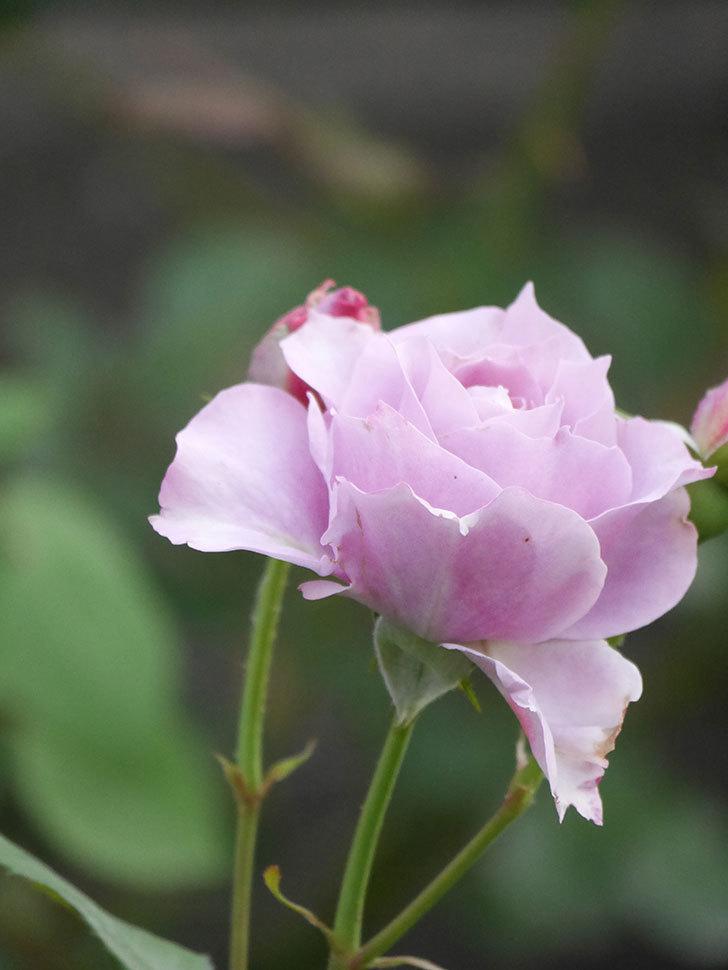 ノヴァーリス(Novalis)の2番花が咲いた。木立バラ。2020年-007.jpg