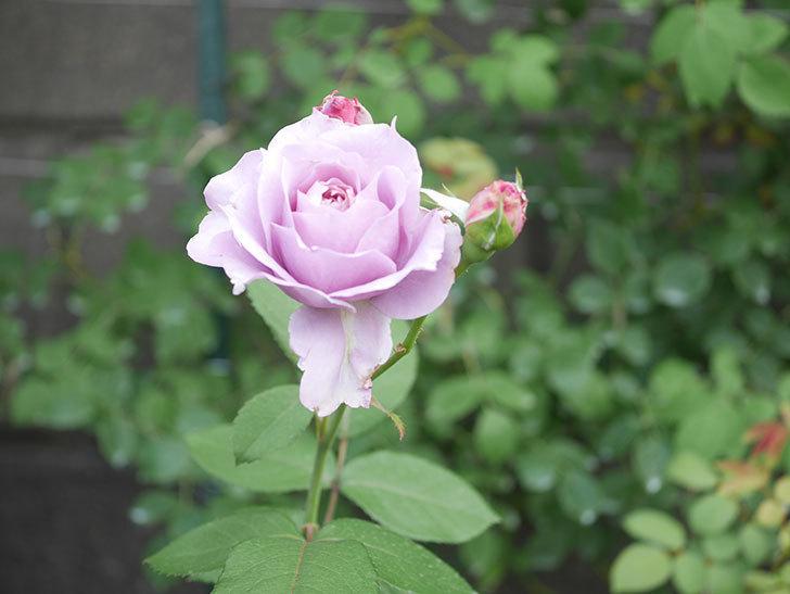 ノヴァーリス(Novalis)の2番花が咲いた。木立バラ。2020年-008.jpg