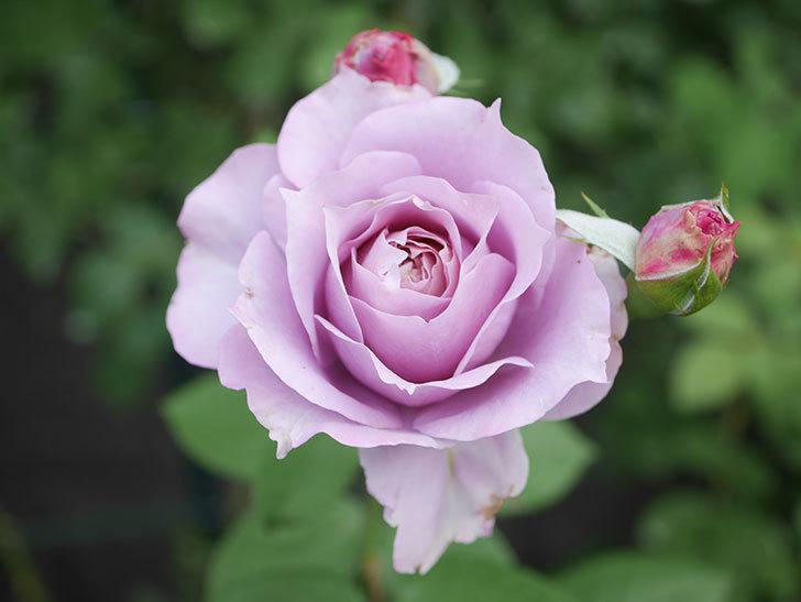 ノヴァーリス(Novalis)の2番花が咲いた。木立バラ。2020年-009.jpg
