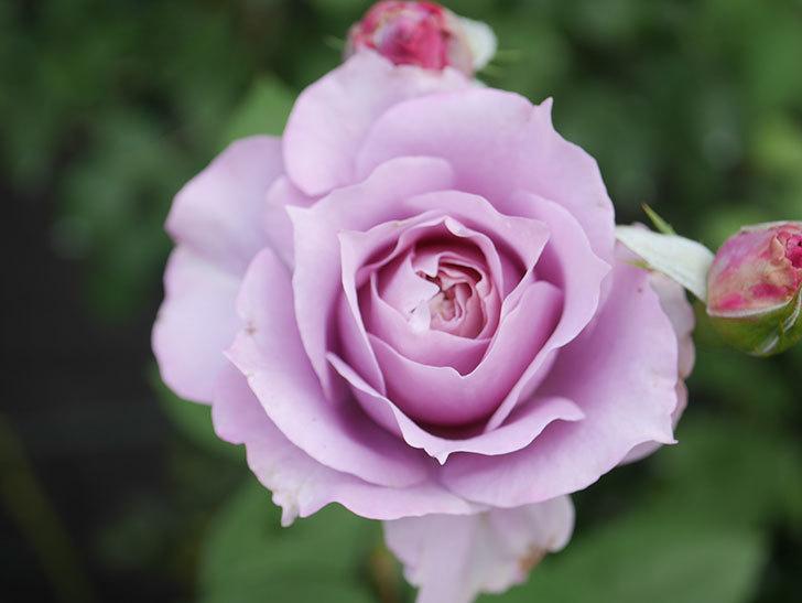 ノヴァーリス(Novalis)の2番花が咲いた。木立バラ。2020年-010.jpg