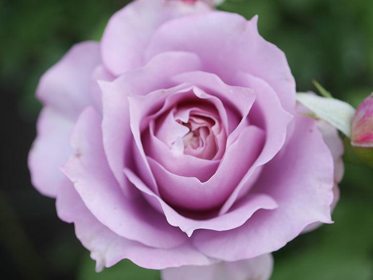 ノヴァーリス(Novalis)の2番花が咲いた。木立バラ。2020年-011.jpg