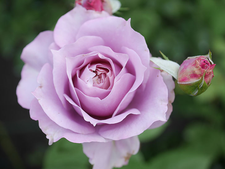 ノヴァーリス(Novalis)の2番花が咲いた。木立バラ。2020年-012.jpg