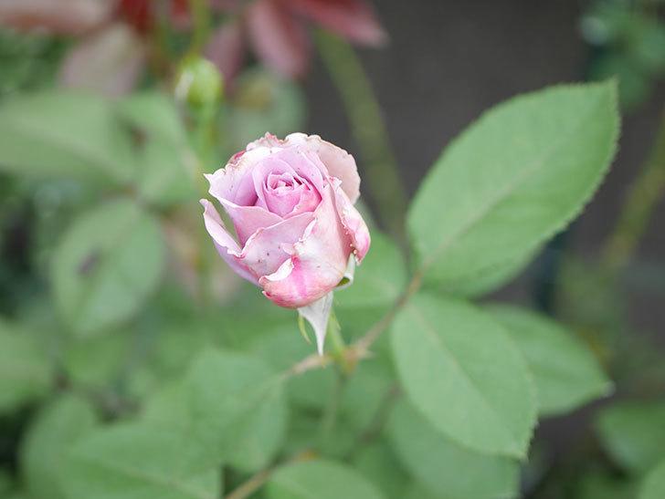ノヴァーリス(Novalis)の2番花が咲いた。木立バラ。2020年-013.jpg