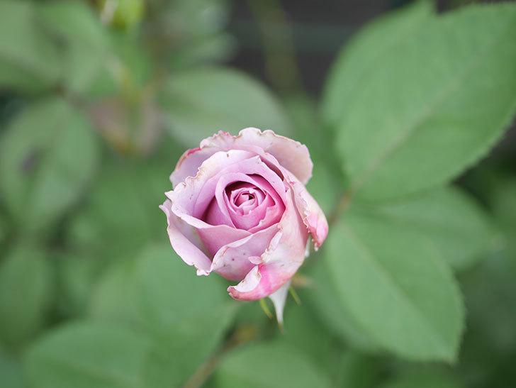 ノヴァーリス(Novalis)の2番花が咲いた。木立バラ。2020年-014.jpg
