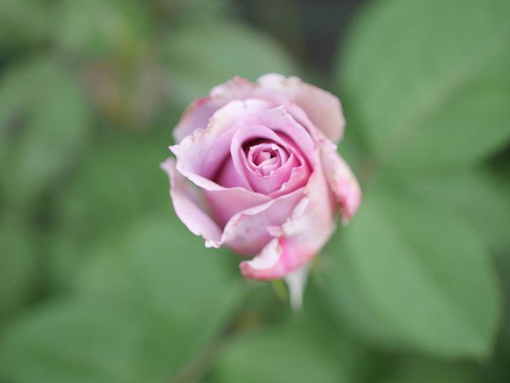 ノヴァーリス(Novalis)の2番花が咲いた。木立バラ。2020年-015.jpg