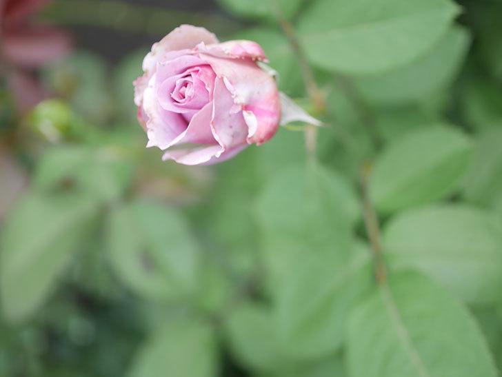 ノヴァーリス(Novalis)の2番花が咲いた。木立バラ。2020年-016.jpg