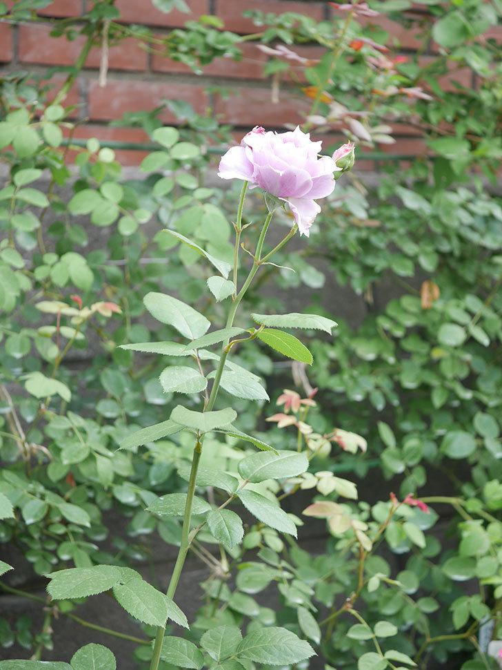 ノヴァーリス(Novalis)の2番花が咲いた。木立バラ。2020年-019.jpg